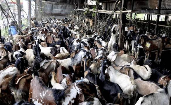 खसीबोका बिक्री नहुँदा व्यापारी निरास, २५ हजारको खसीलाई १४ दिन्छन् ग्राहक